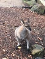 Wallaby im Taronga Zoo