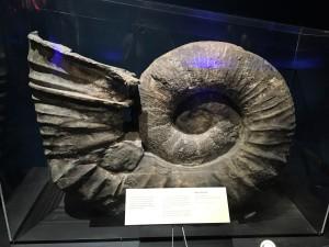 Kopffüßer Fossil