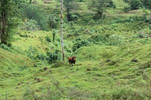 Kuh auf Samoa